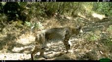 Bobcat.