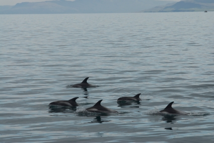 White beaked dolphins in Iceland.