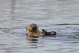 Otter eating gaper clam.